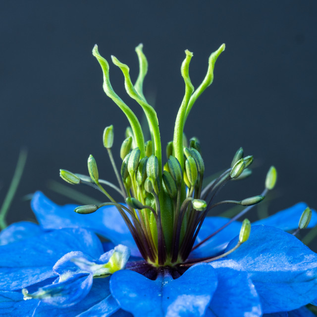 """Nigella (Love-in-a-mist)"" stock image"