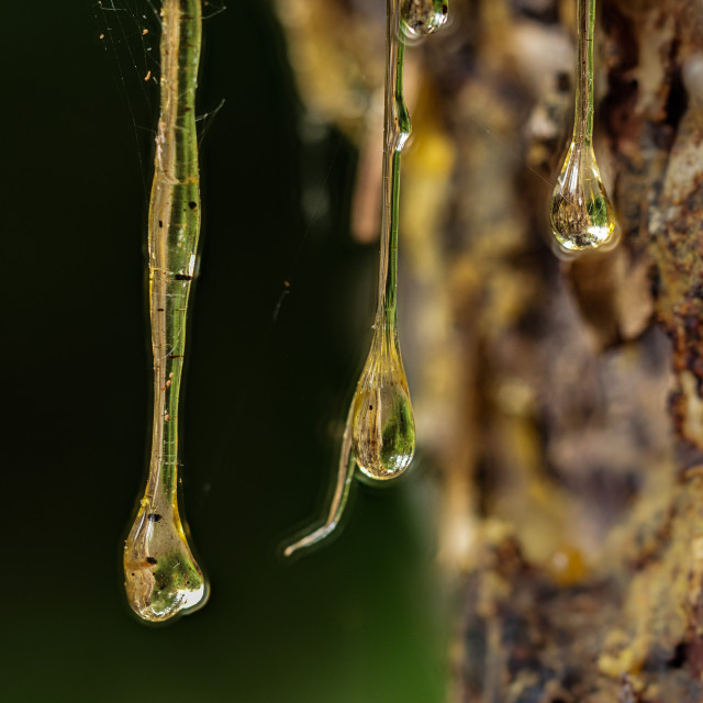 """tree sap from a Douglas fir"" stock image"