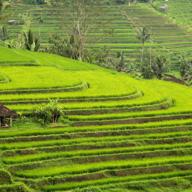 """Bali Rice Fields"" stock image"