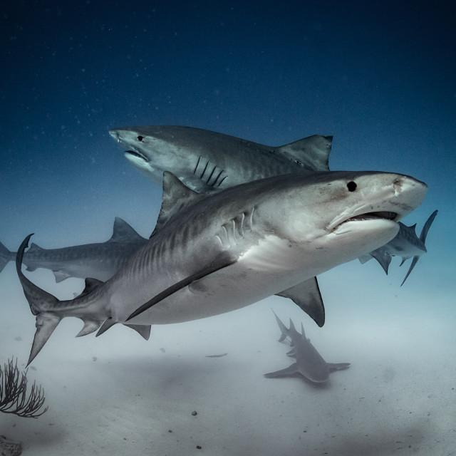 """three tiger sharks"" stock image"