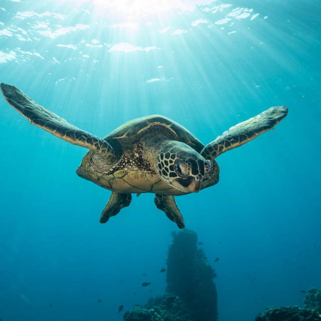 """""""Green sea turtle in the rays of the sun"""" stock image"""