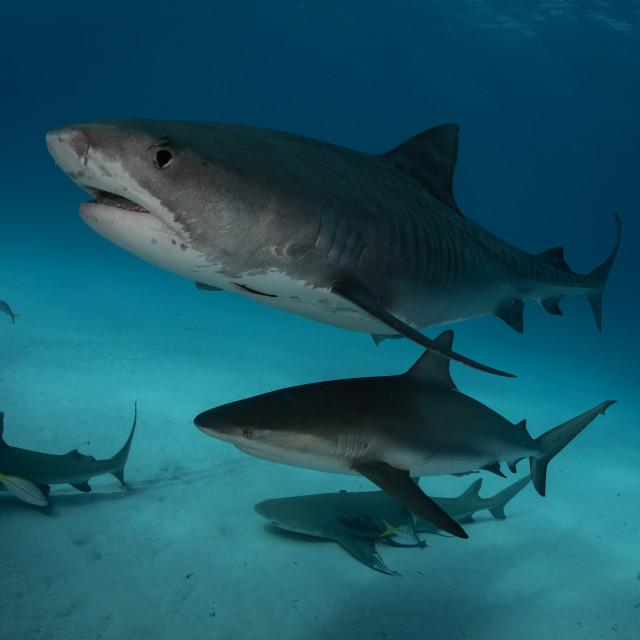 """tiger shark and reef shark"" stock image"