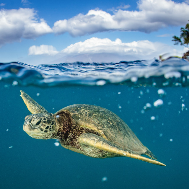 """""""Green sea turtle after a breath"""" stock image"""