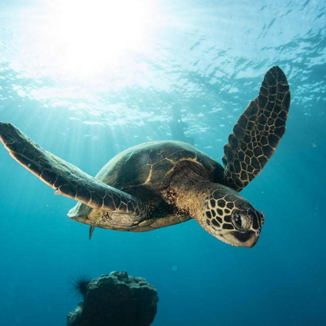 """""""Turtle flying in the sea"""" stock image"""