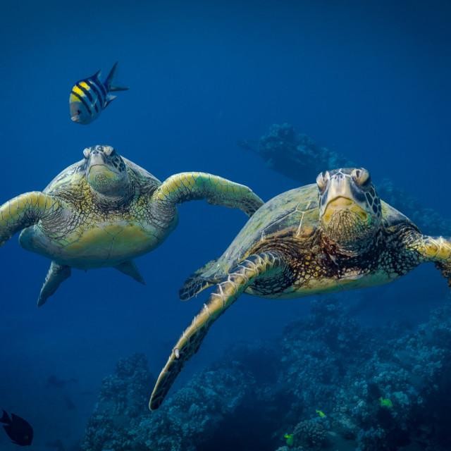 """Two green sea turtles"" stock image"