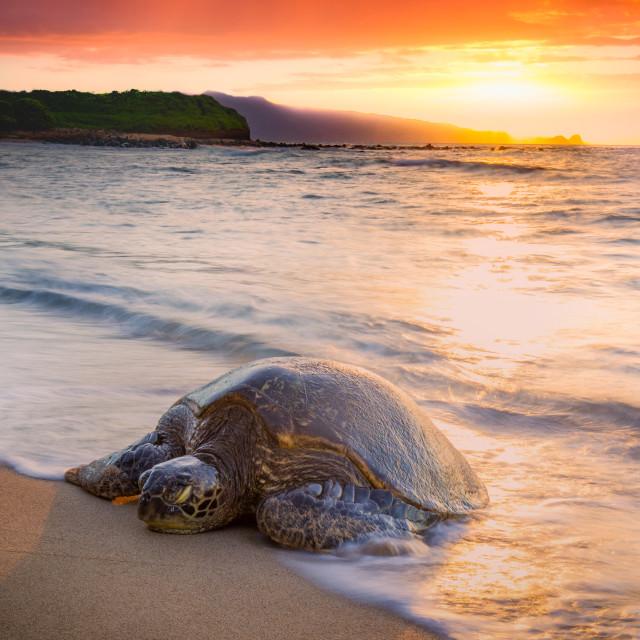 """Turtle coming ashore"" stock image"