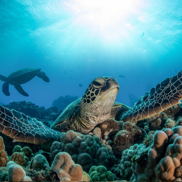 """""""Turtle chilling in the reef"""" stock image"""