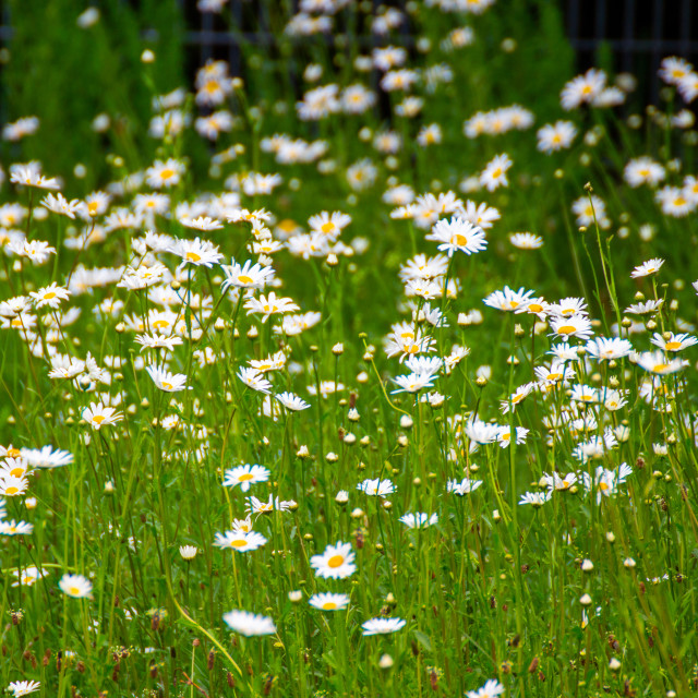 """""""Field of flowers"""" stock image"""