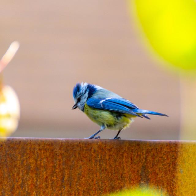 """Bluebird"" stock image"