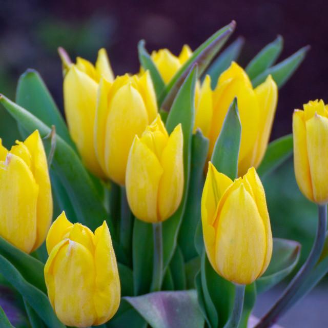 """""""Yellow tulips"""" stock image"""