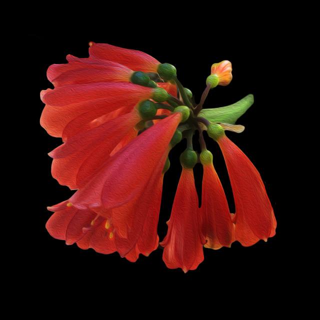 """Clivia Nobilis flowers"" stock image"
