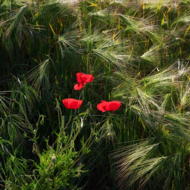 """Three poppies"" stock image"