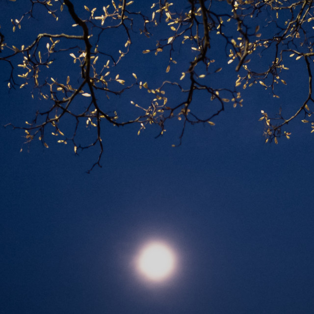 """My Nature - Moonlit Tree & Blue Sky"" stock image"