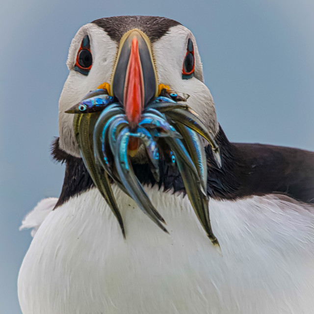 """A Puffin Portrait"" stock image"
