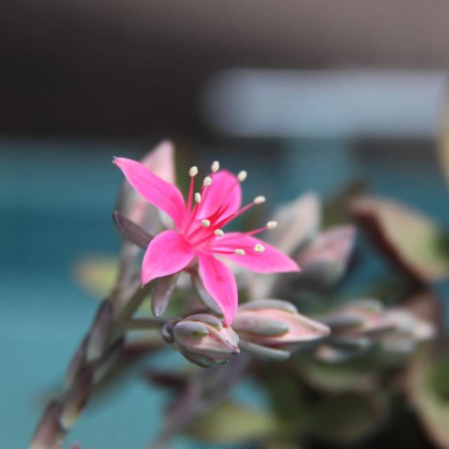 """Succulent flower"" stock image"