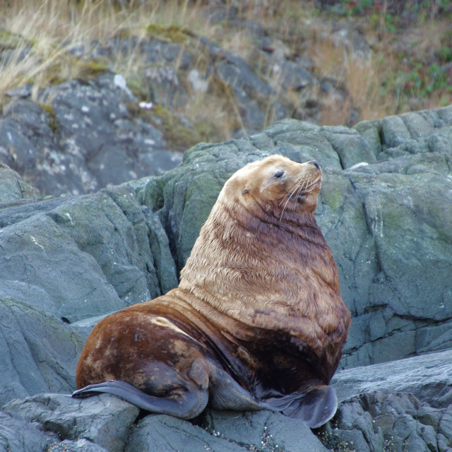 """Stellar Sea Lion"" stock image"