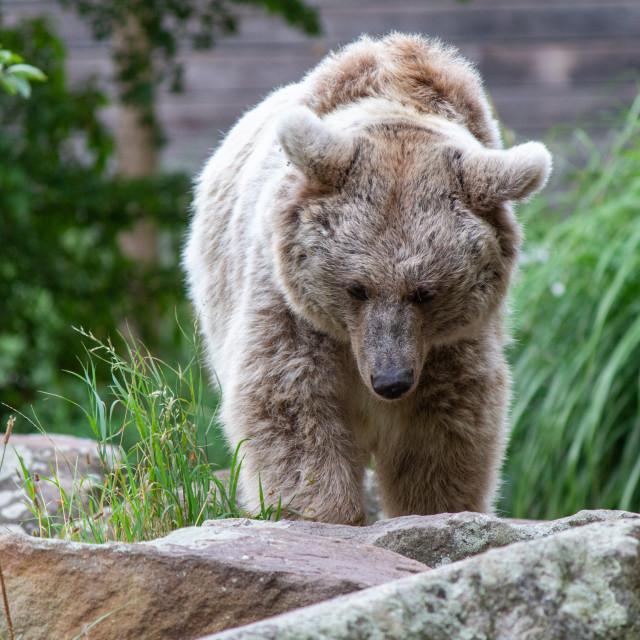 """""""Siberian Bear"""" stock image"""