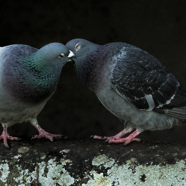 """""""Pigeon kiss"""" stock image"""