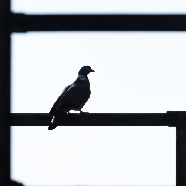 """Woodpigeon silhouette"" stock image"
