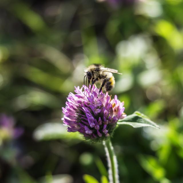"""Bumble Bee"" stock image"