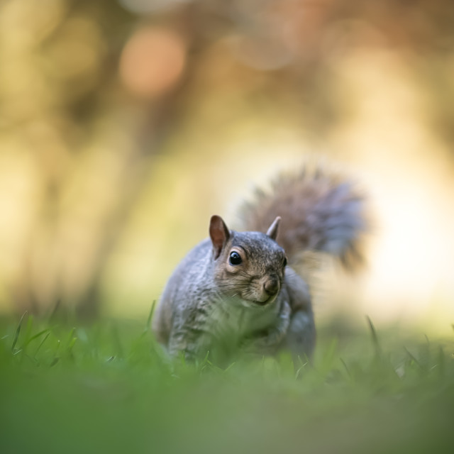 """Nosey Squirrel"" stock image"