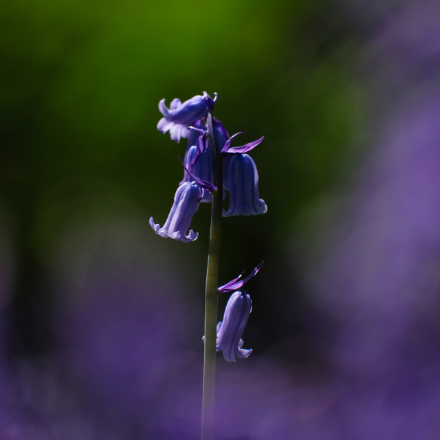 """A single Bluebell"" stock image"