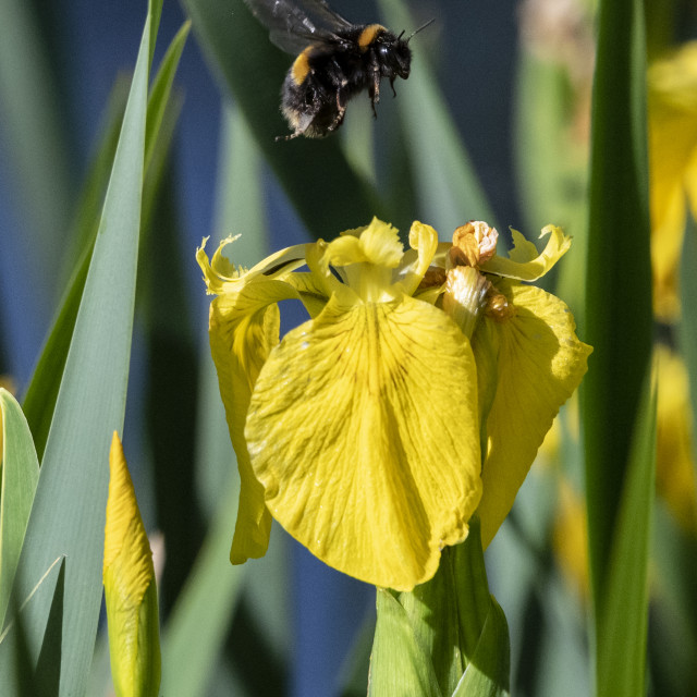 """Bumble Bee in flight"" stock image"