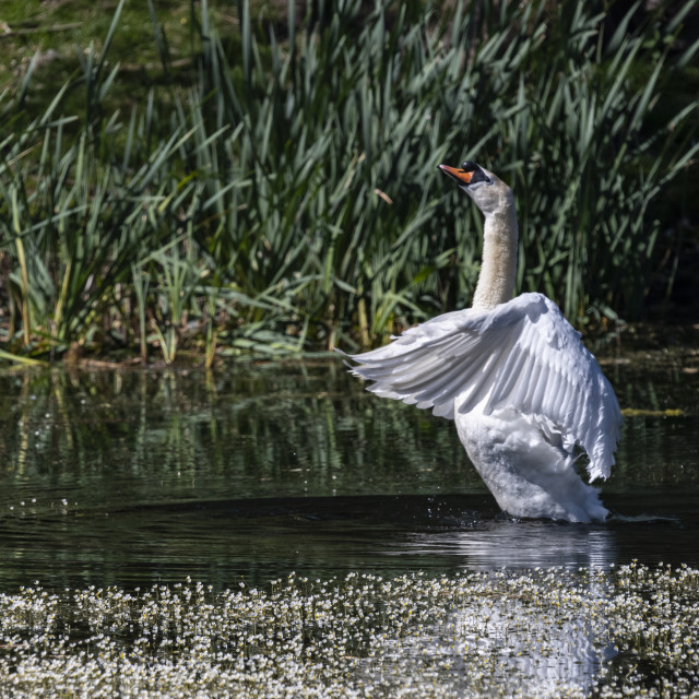"""Stretching Swan"" stock image"