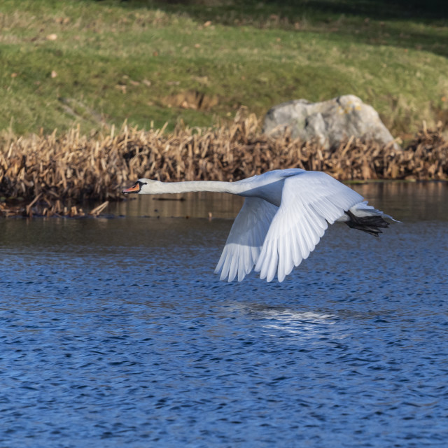 """Swan in flight"" stock image"