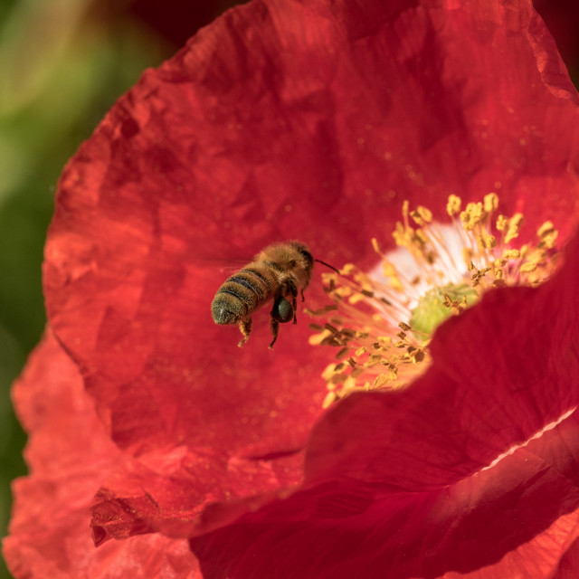 """Poppy and bee"" stock image"