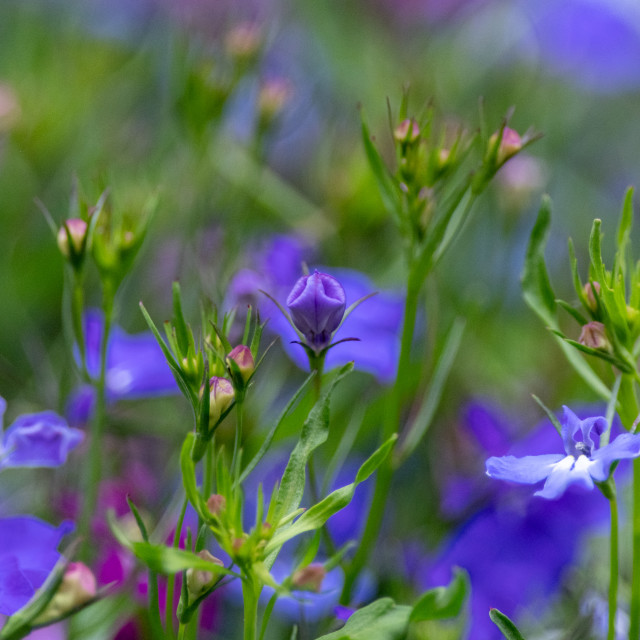 """""""Periwinkle puzzle"""" stock image"""