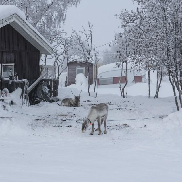 """""""Back garden reindeer"""" stock image"""