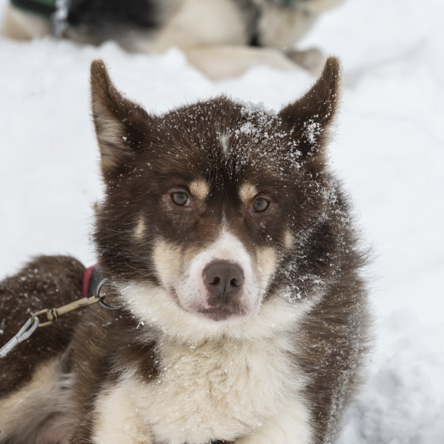 """Sled dog at rest."" stock image"
