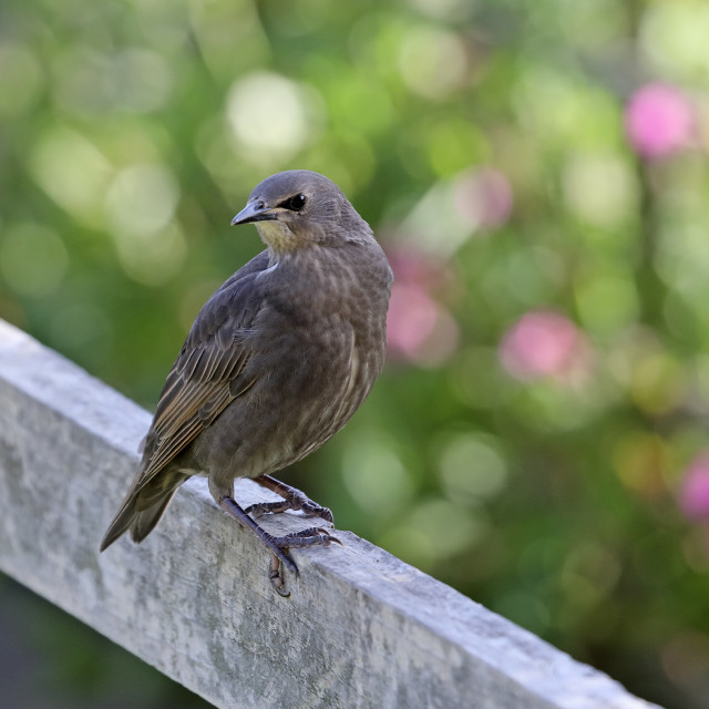 """""""Starling Fledgling (Sturnus Vulgaris) Perched on a Garden Fence,"""" stock image"""