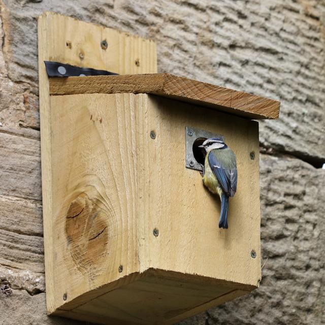 """Blue Tit (Parus Caeruleus) Investigating a Bird Box, UK"" stock image"
