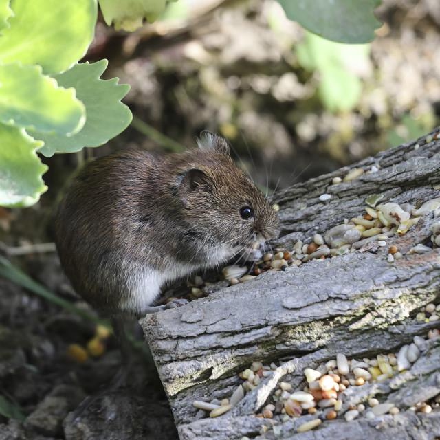 """""""Bank Vole (Clethrionomys glareolus) Feeding on Bird Seeds UK"""" stock image"""