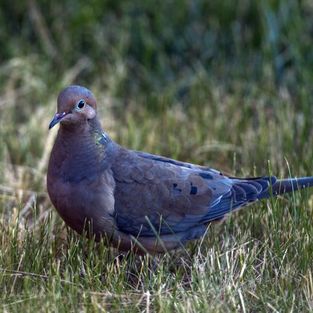 """The mourning dove (Zenaida macroura)"" stock image"