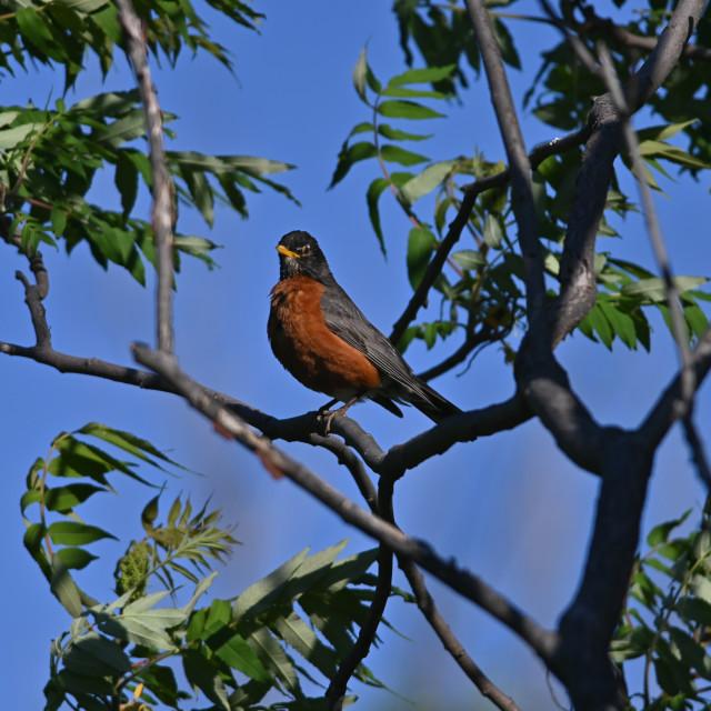 """The American robin (Turdus migratorius)"" stock image"