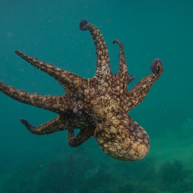"""Octopus"" stock image"