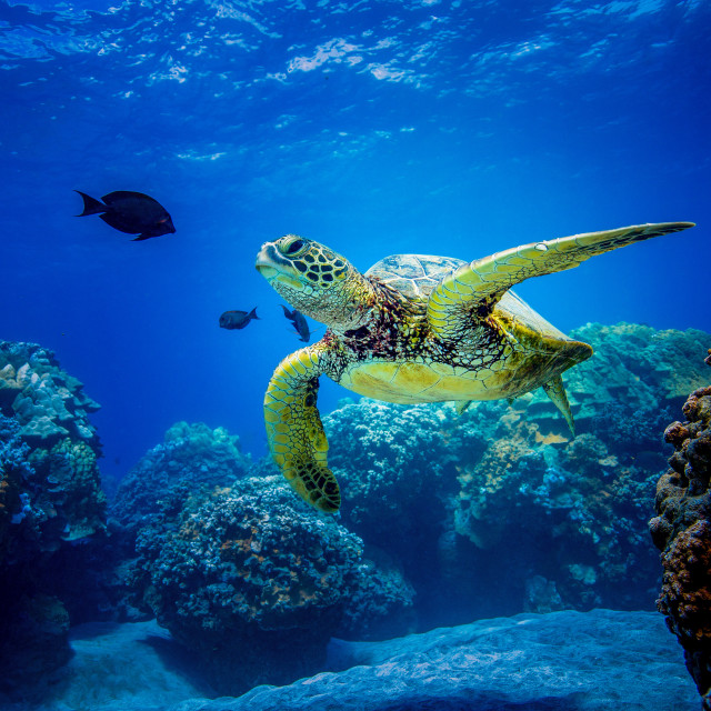 """""""Turtle swimming through the reef"""" stock image"""