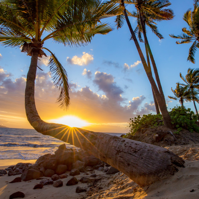 """Bent palm tree at sunset"" stock image"