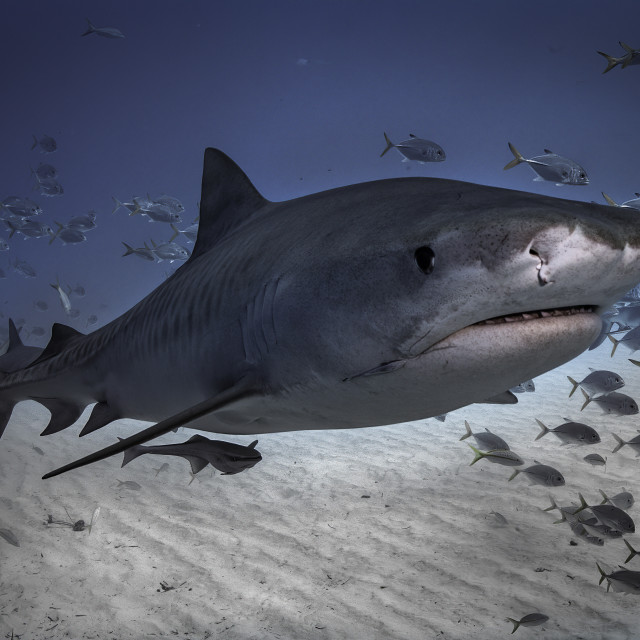 """Tiger shark"" stock image"