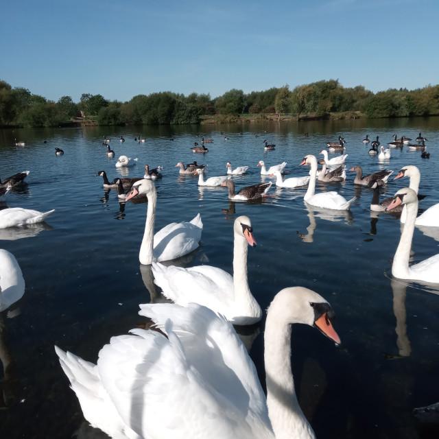 """Watermead Swans"" stock image"