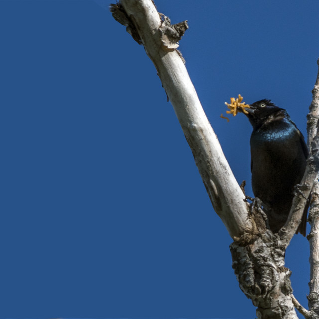 """""""The common grackle (Quiscalus quiscula)"""" stock image"""