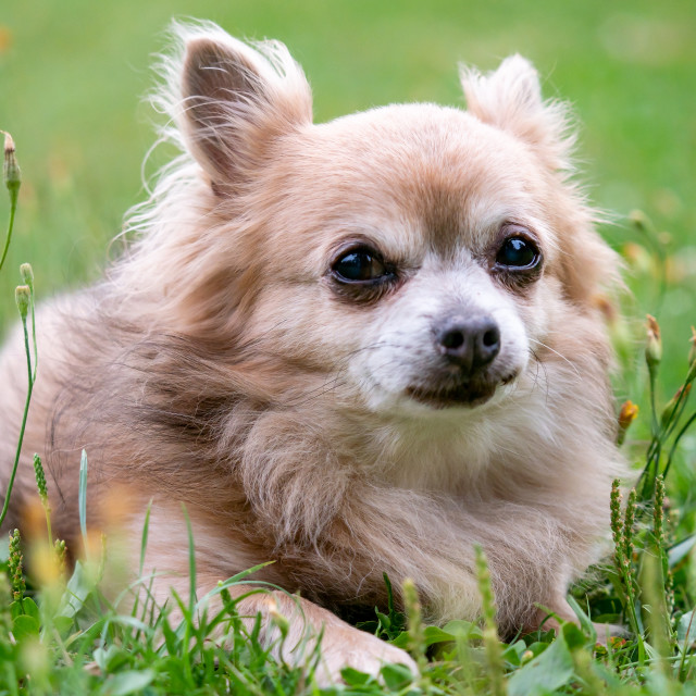 """Old dog Chihuahua in green grass on a summer day"" stock image"