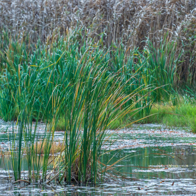 """Reed in the wind on the shore of the pond. Dry grass flower blow"" stock image"