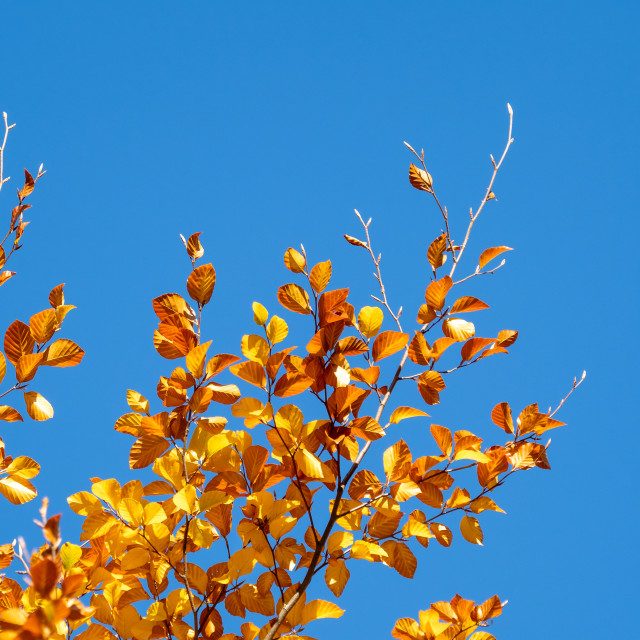 """Autumn leaves with the blue sky background"" stock image"