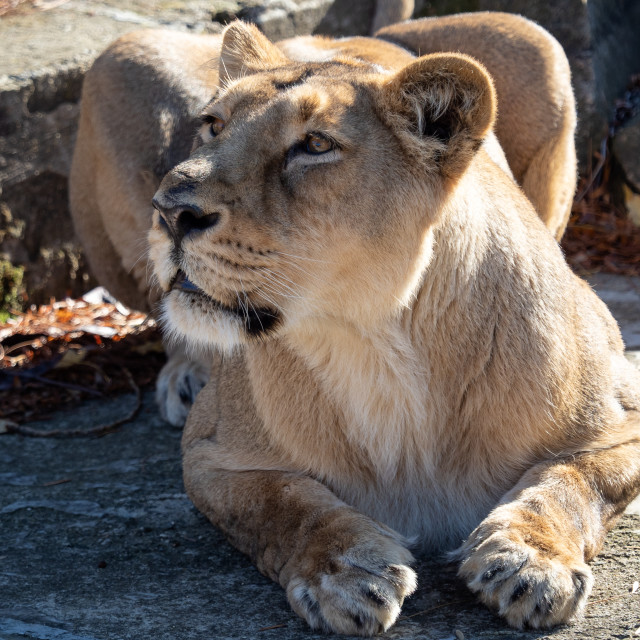 """Asiatic lioness (Panthera leo persica). A critically endangered"" stock image"