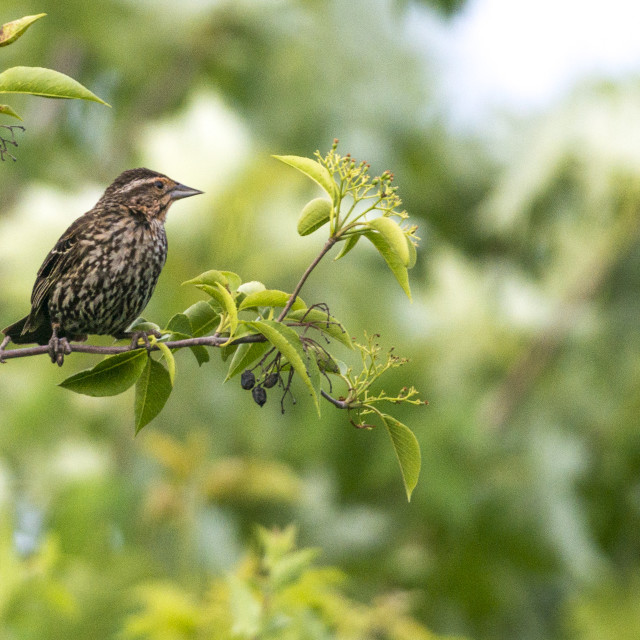 """""""The house finch (Haemorhous mexicanus)"""" stock image"""