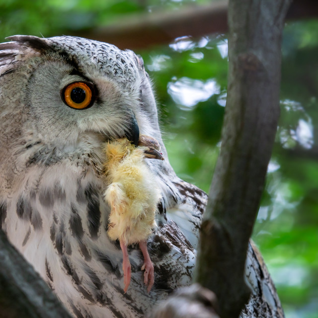 """Siberian Eagle Owl with prey in the beak. Bubo bubo sibiricus, the biggest owl in the world."" stock image"